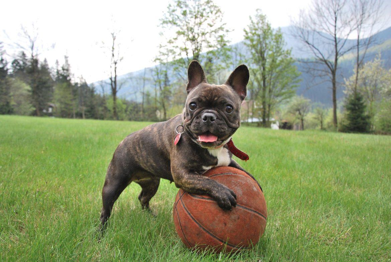 Franse Bulldog Een Stevige En Gespierde Hond Ontdek Zijn Grote Geheim